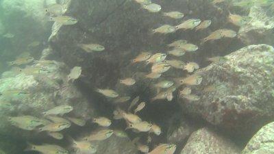妙見魚6.jpg